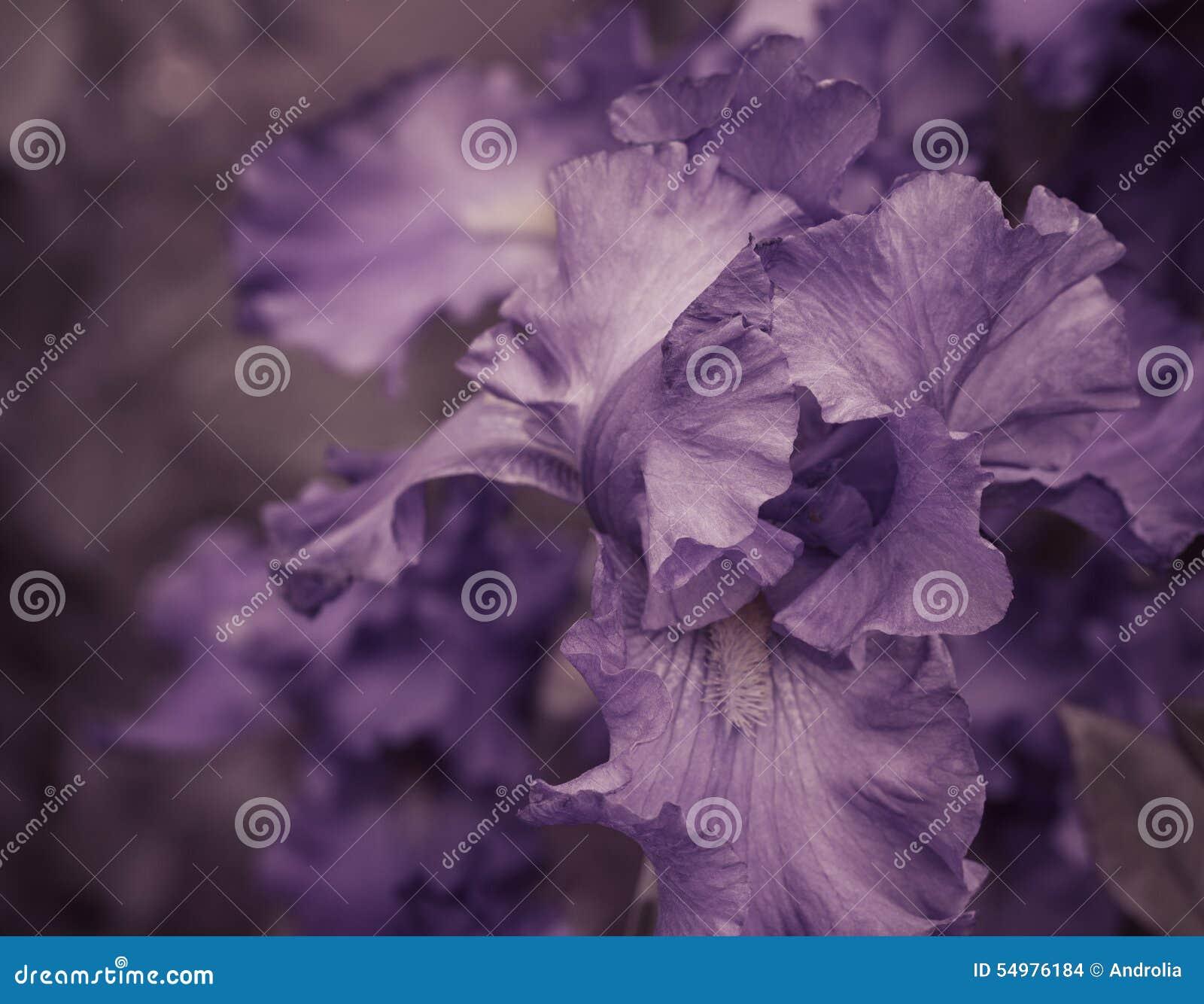 Iriskronblad stänger sig upp