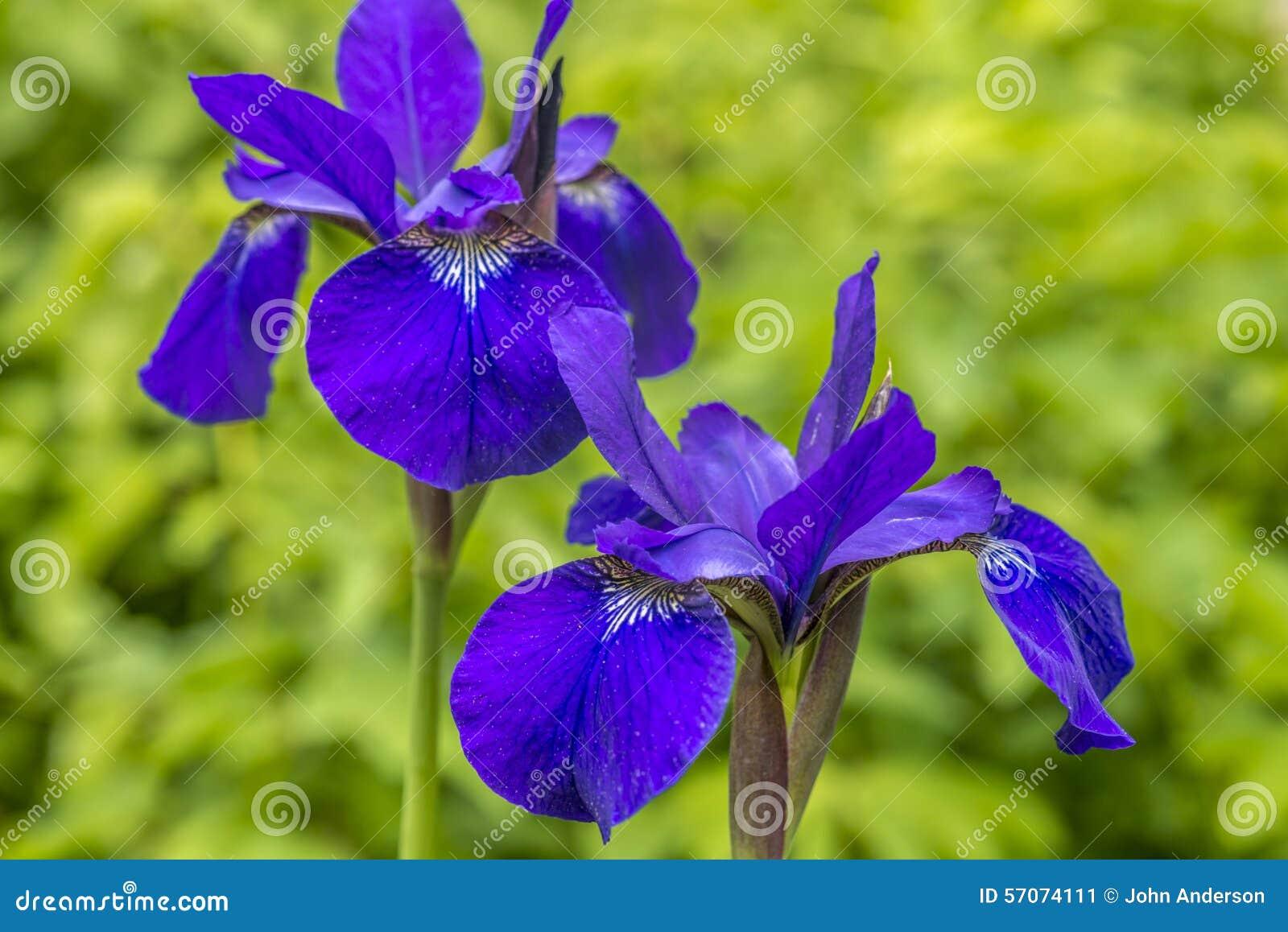 Irisversicolo of purpere iris