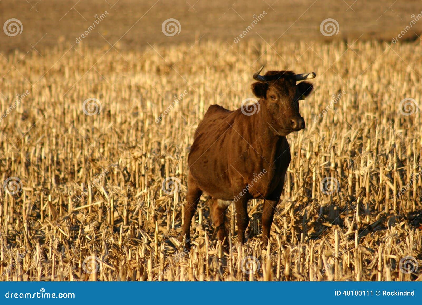 Irlandês Dexter Cow