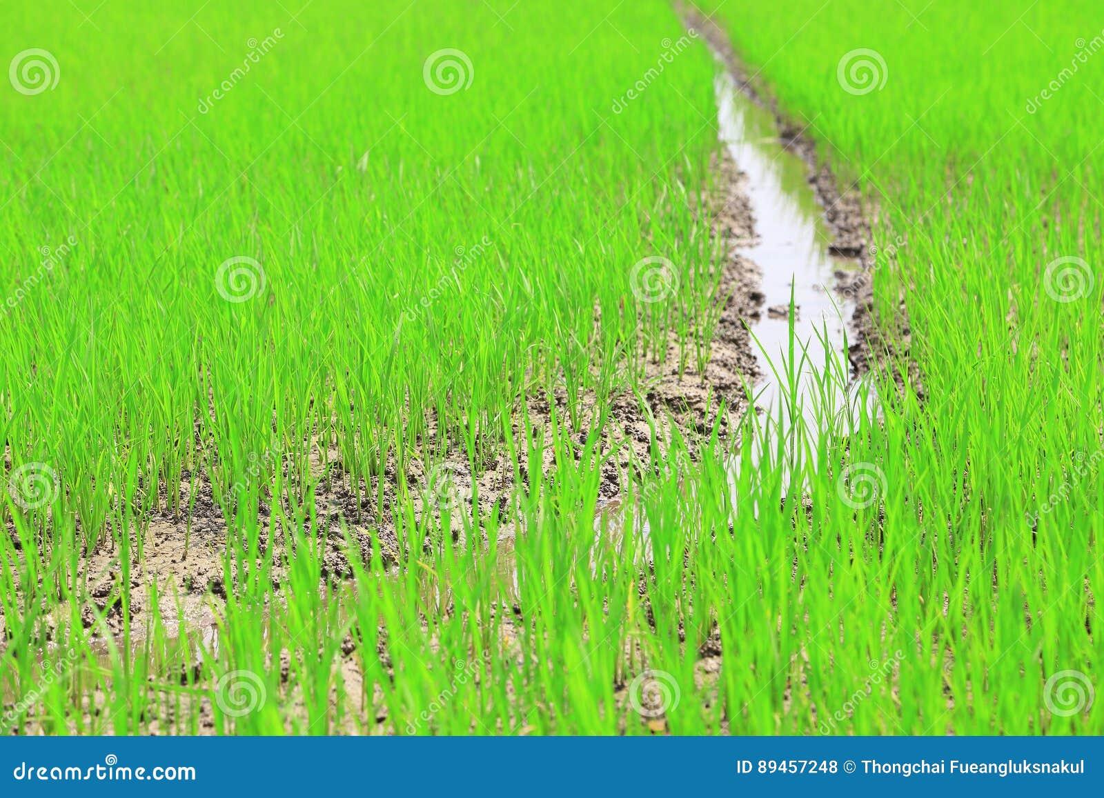 Irlandczyka pole lub ryżu pole