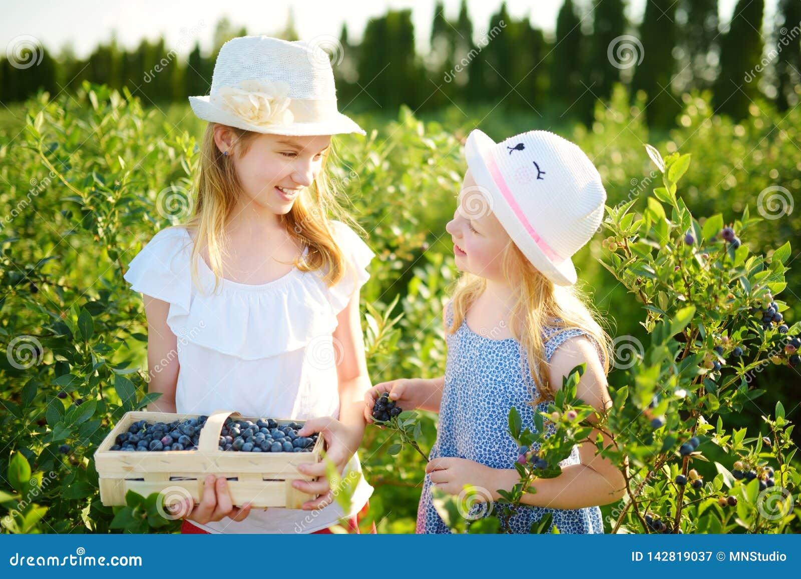 Irmãs mais nova bonitos que escolhem bagas frescas na exploração agrícola orgânica do mirtilo no dia de verão morno e ensolarado