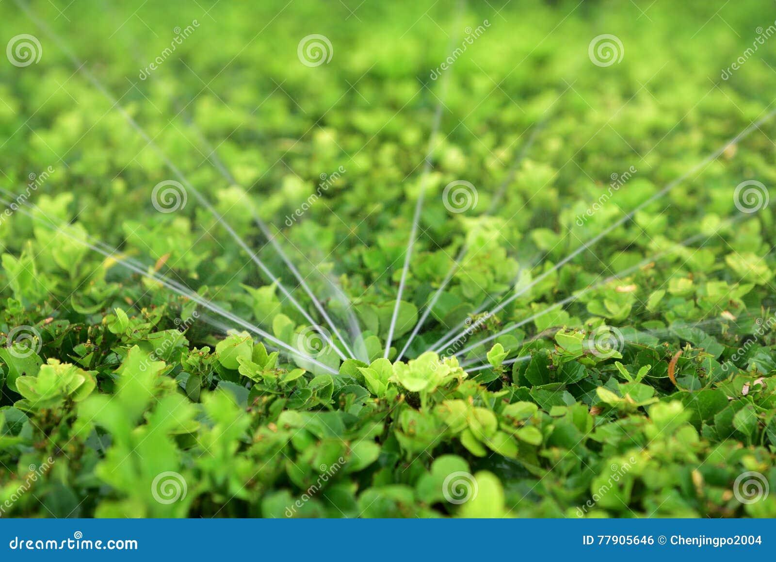 Irrigación de regadera