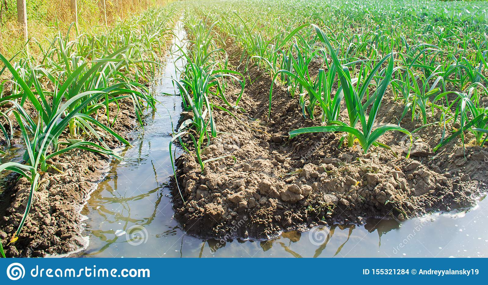 Irrigation leek in the field. Traditional natural watering. Eco-friendly products. Agriculture and farmland. Crops. Ukraine,
