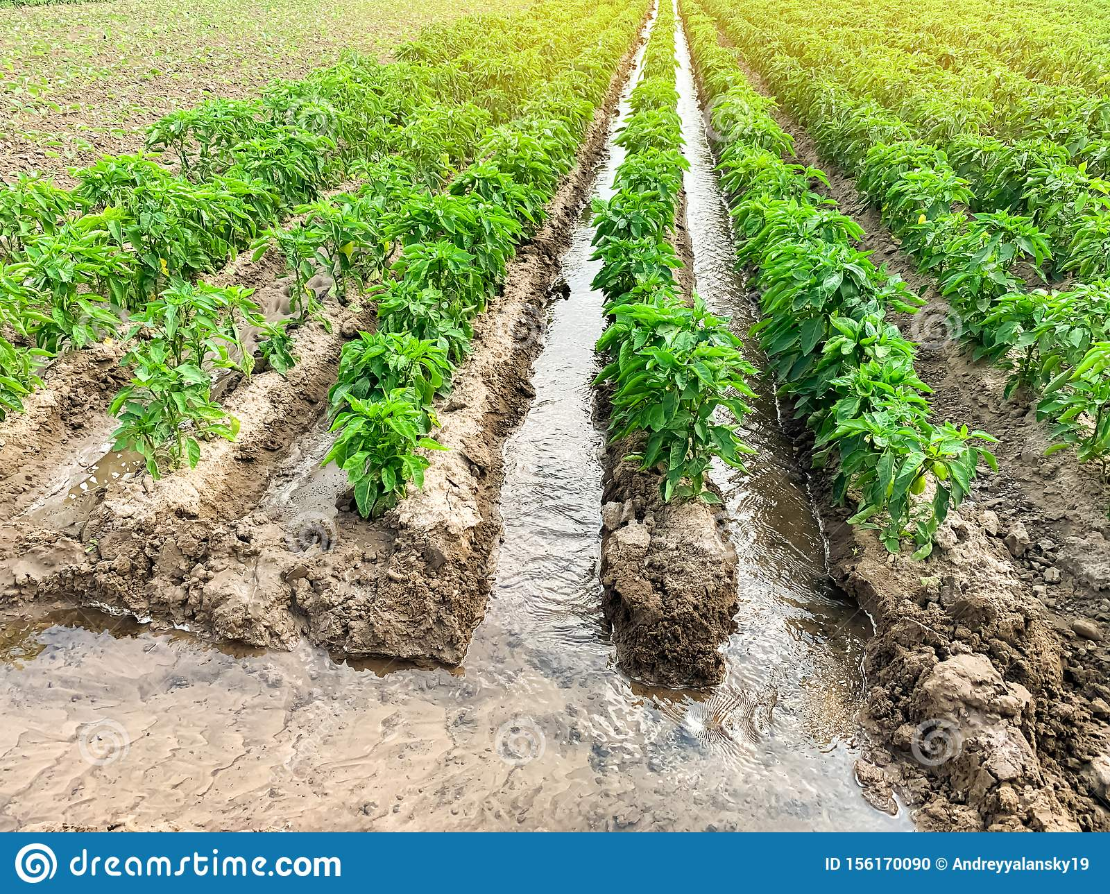 Irrigation of pepper plantations in the field. Traditional natural watering. Eco-friendly products. Agriculture and farmland.