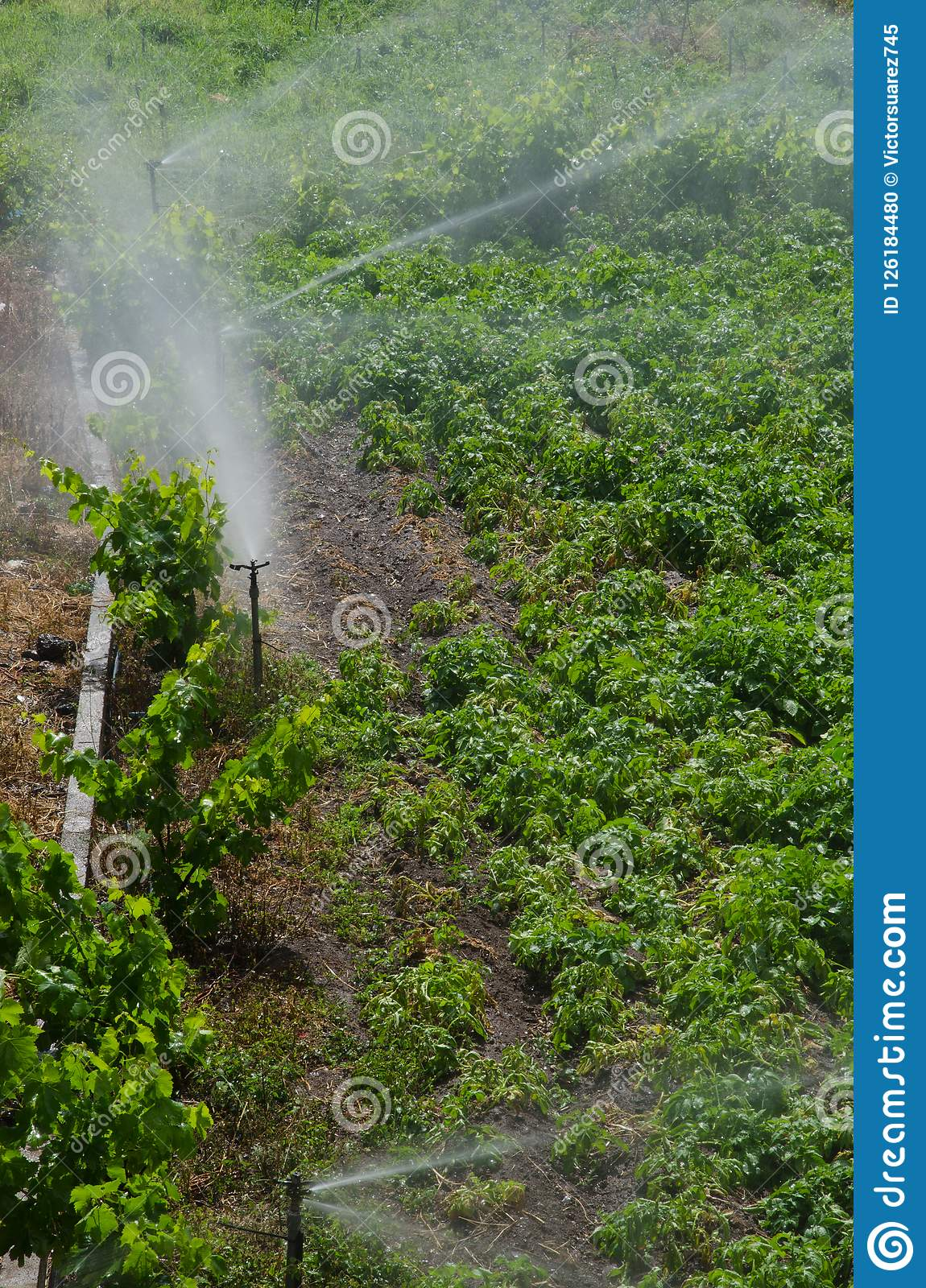 Irrigation of a potatoes cultivation.