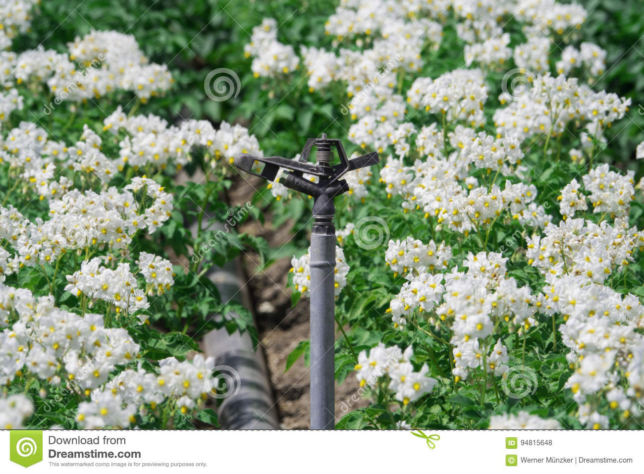 Irrigation system with flowering potato plants stock photo image irrigation system with white flowering potato plants on the field mightylinksfo