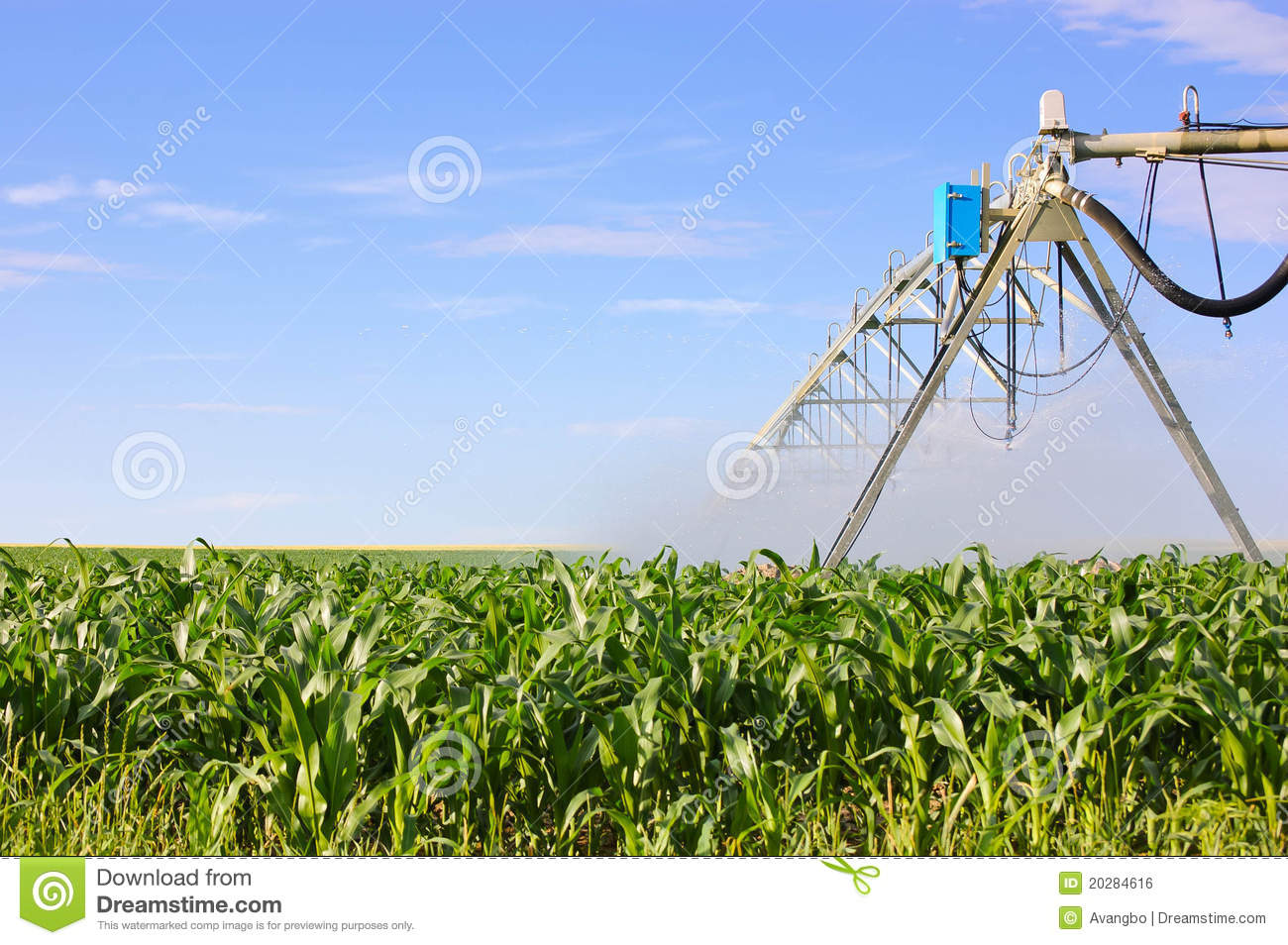 Irrigation System Watering Green Corn Field Royalty Free