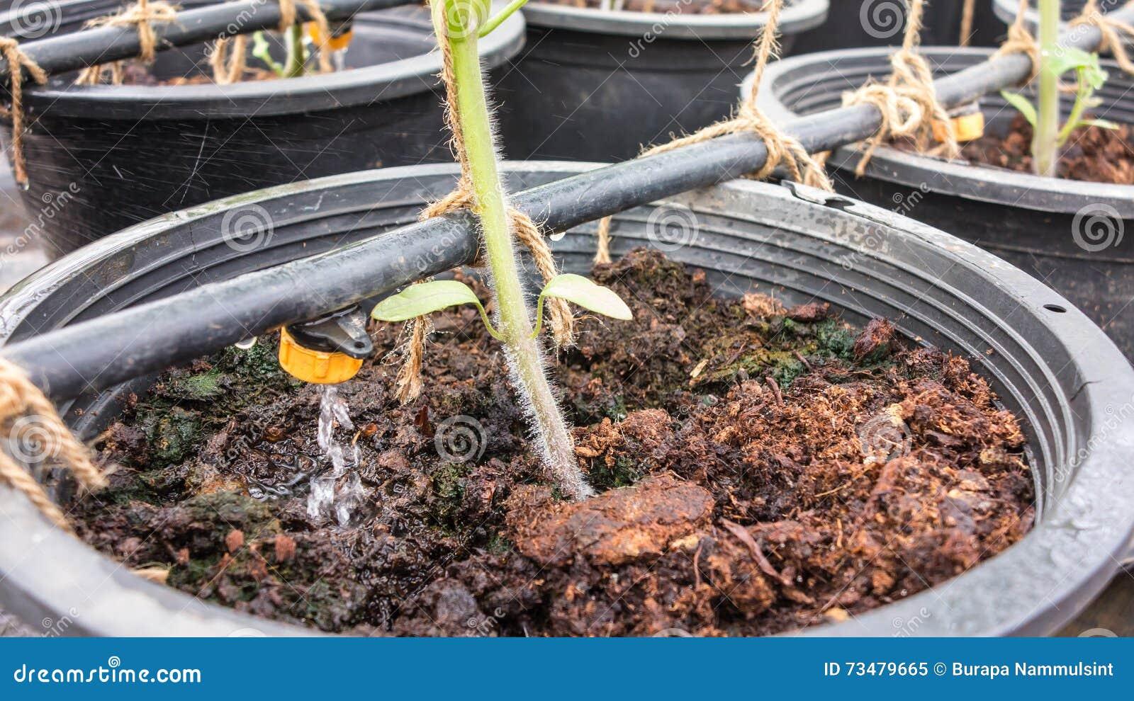 Irrigazione A Goccia In Piante Da Vaso Immagine Stock
