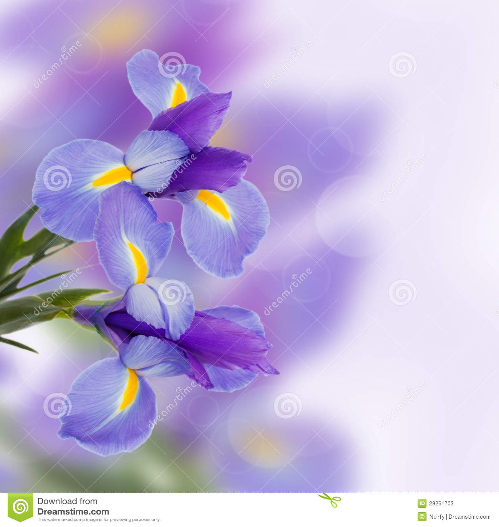 Irysów kwiaty