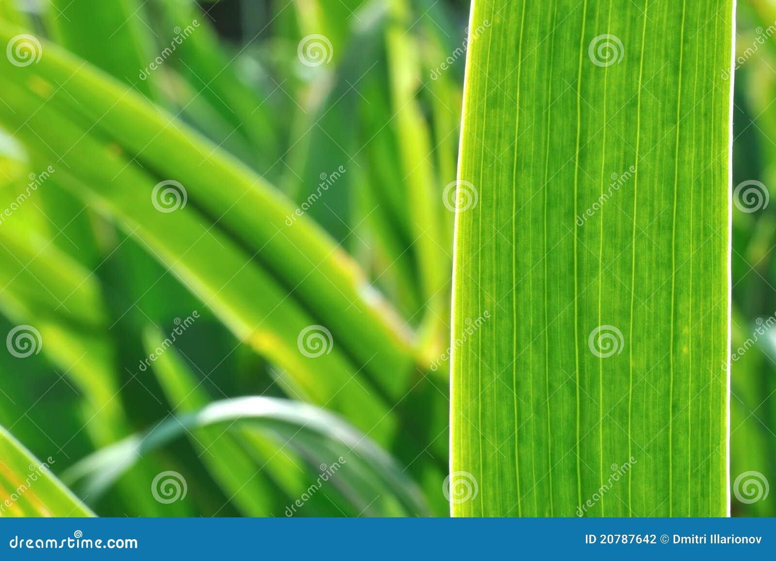 Irysowy tło liść