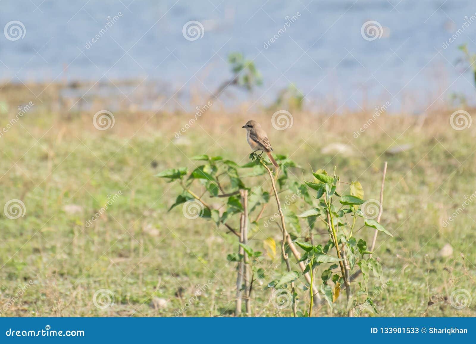Isabelline Shrike ή isabellinus Daurian shrike Lanius