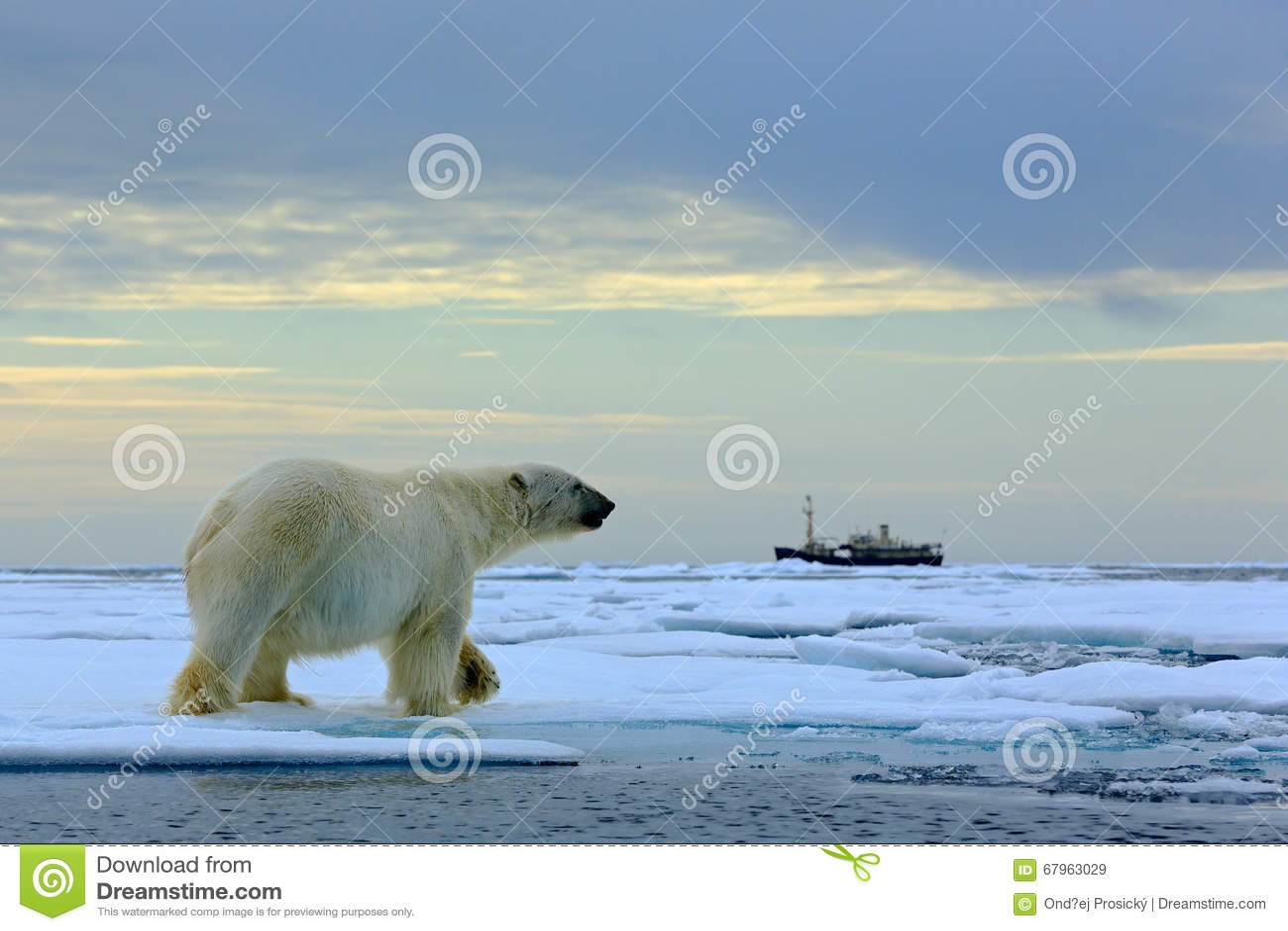 Isbjörn på drivaisen med snö, suddig kryssningskyttel i bakgrund, Svalbard, Norge