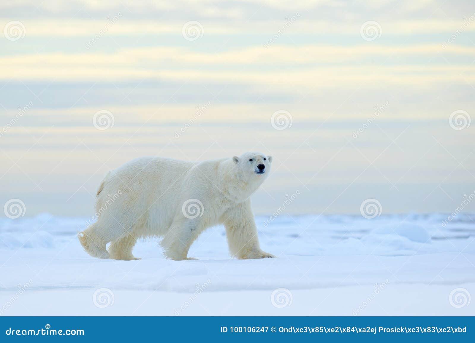 Isbjörn på kanten för drivais med snö ett vatten i arktiska Svalbard Vitt djur i naturlivsmiljön, Norge Djurlivplats från