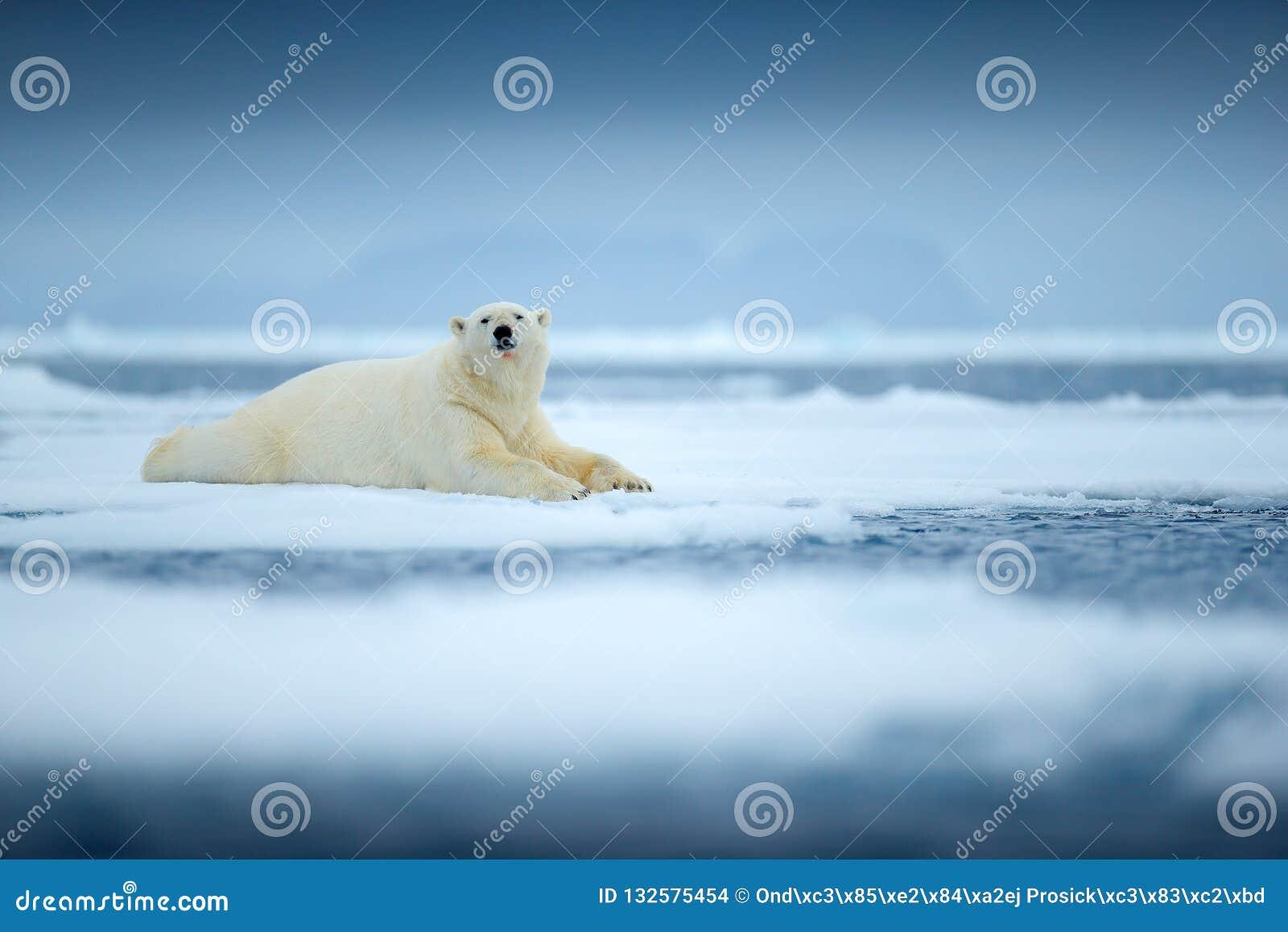 Isbjörn på kanten för drivais med snö och vatten i havet Vitt djur i naturlivsmiljön, norr Europa, Svalbard, Norge