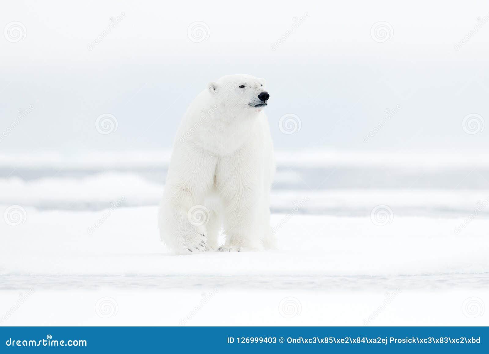 Isbjörn på kanten för drivais med snö och vatten i havet Vitt djur i naturlivsmiljön, norr Europa, Svalbard, Norge Wildl