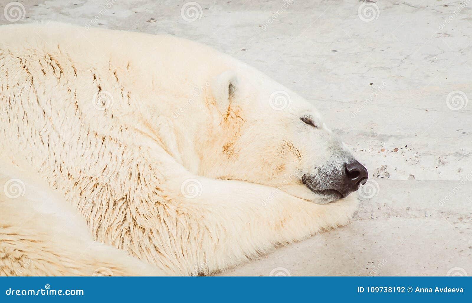 Isbjörn som sover ståenden på zoo