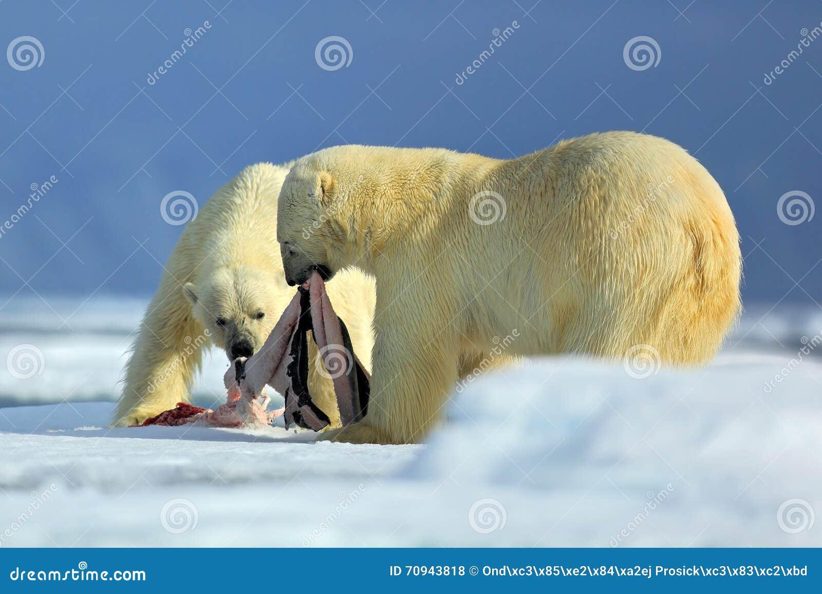 Isbjörnar par av stora anilmals med skyddsremsan bombarderar, når de har matat kadavret på drivais med snö och blå himmel i arkti