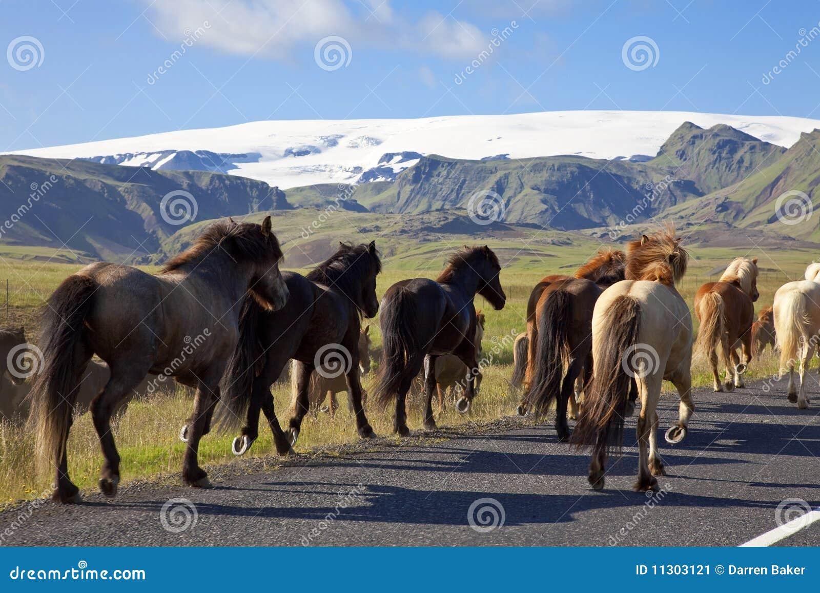 Isländische Pferde, die auf eine Straße laufen