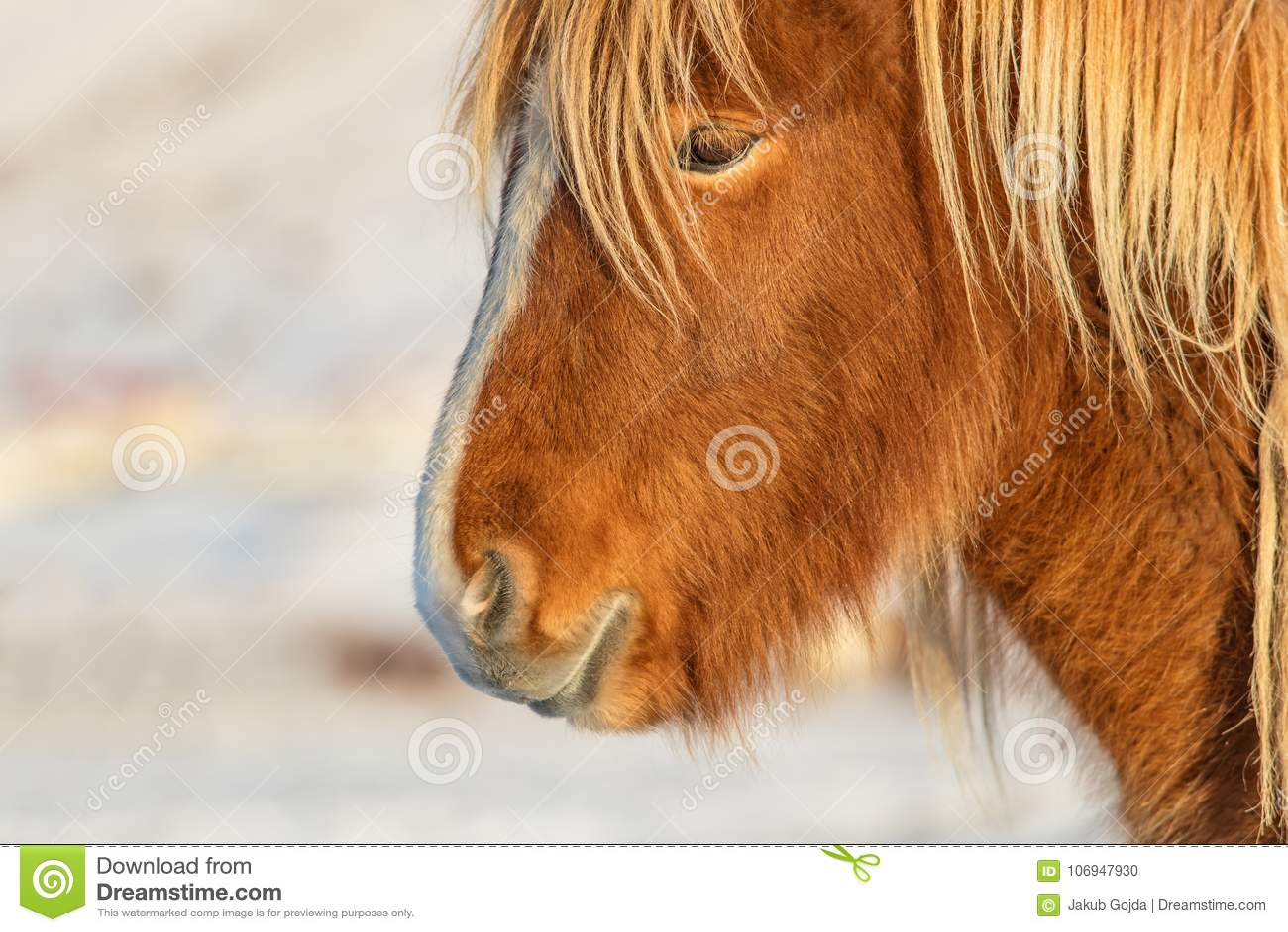 Isländischer Pferdeportrait in der Winterlandschaft