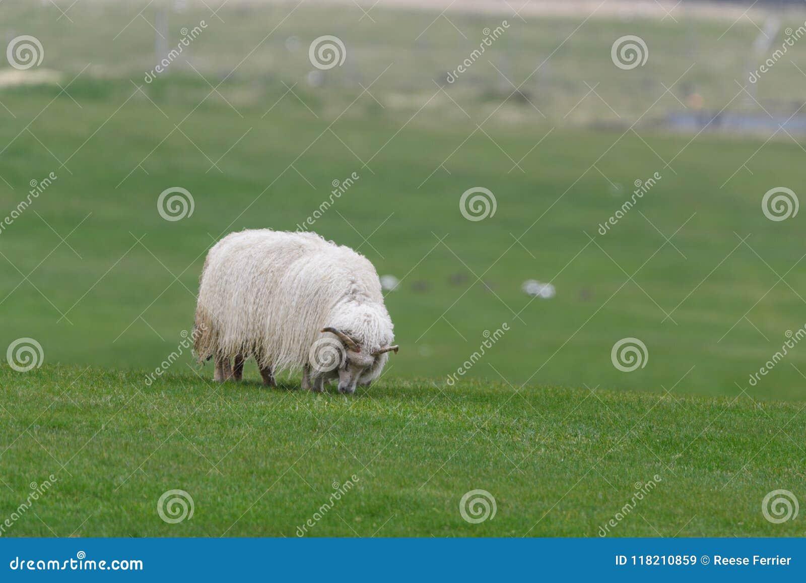 Isländisches Schafe Ãslenska-sauðkindin