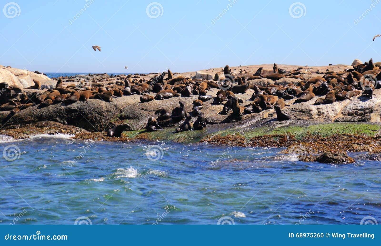 Isla del sello en Cape Town