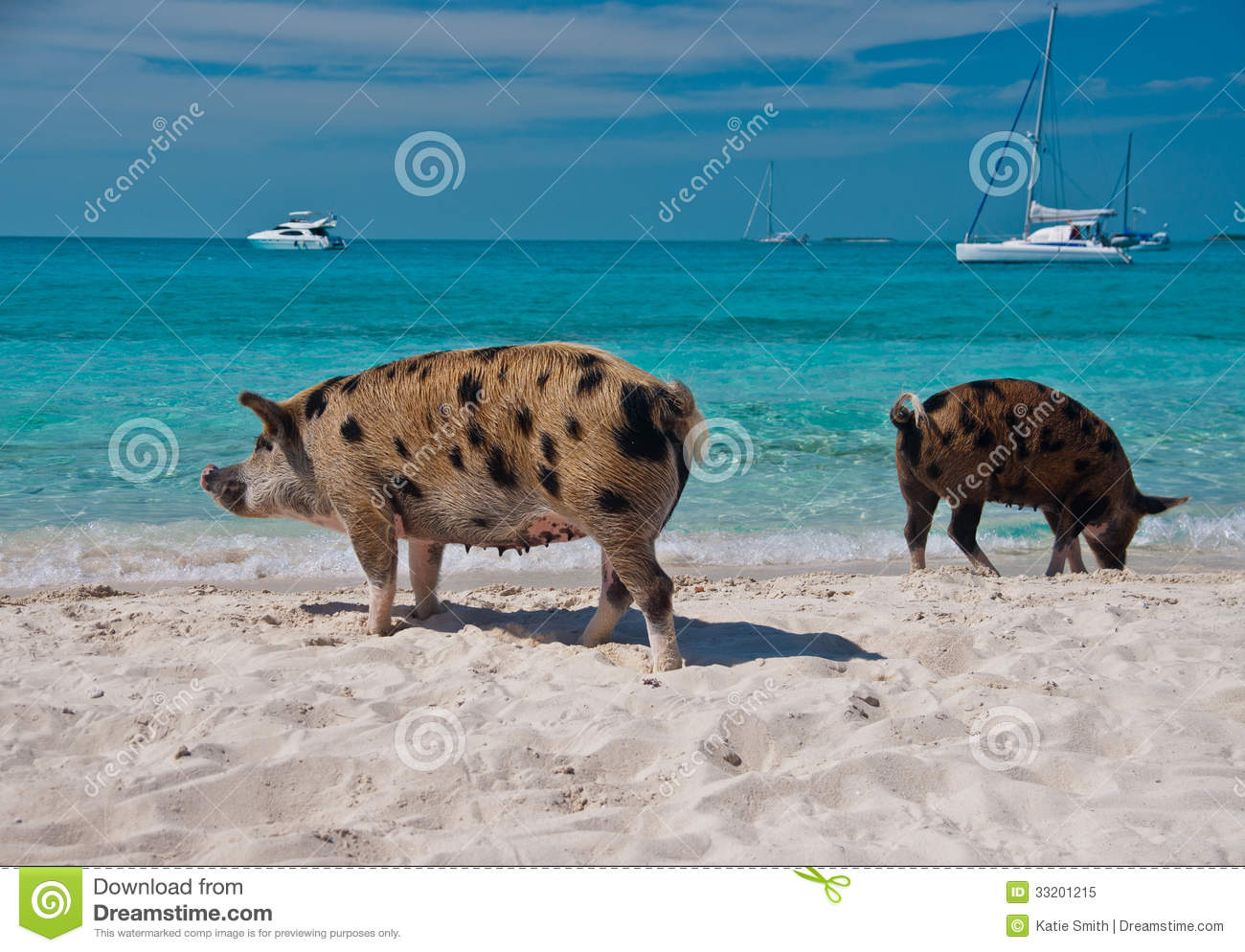 Island Pigs Royalty Free Stock Photo - Image: 33201215