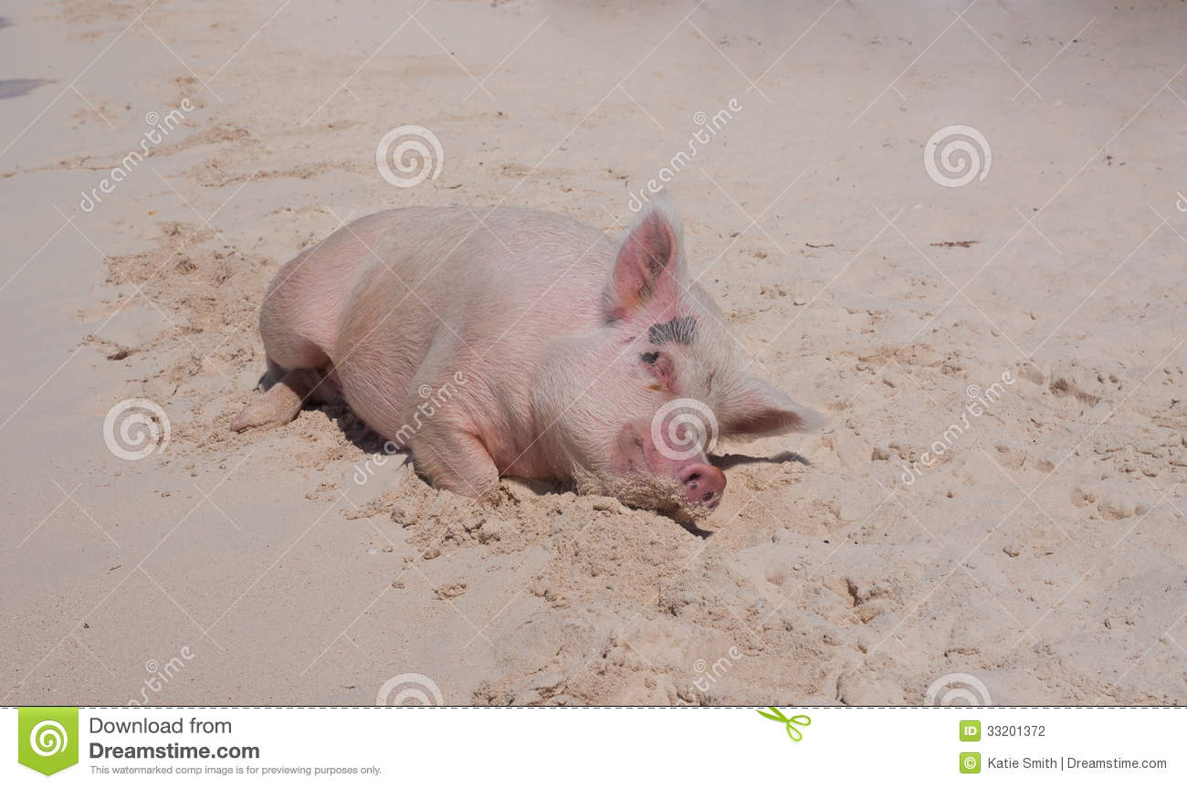 Island Pigs Stock Photography - Image: 33201372