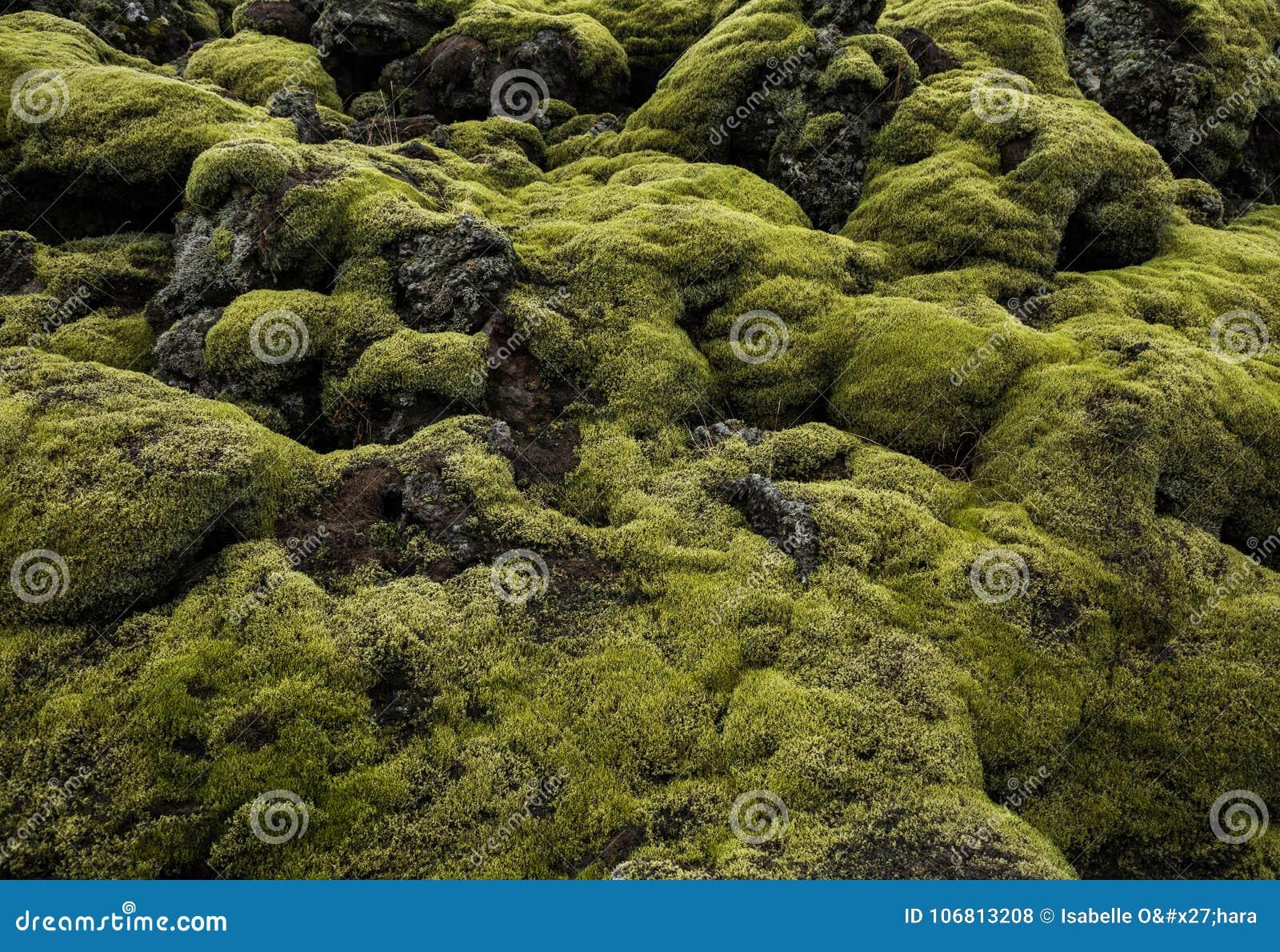 Islandais Lava Field Landscape avec la roche volcanique couverte par la mousse verte luxuriante