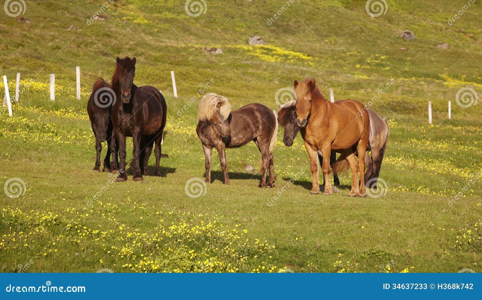 Islandia. Caballos islandeses que pastan en la hierba.