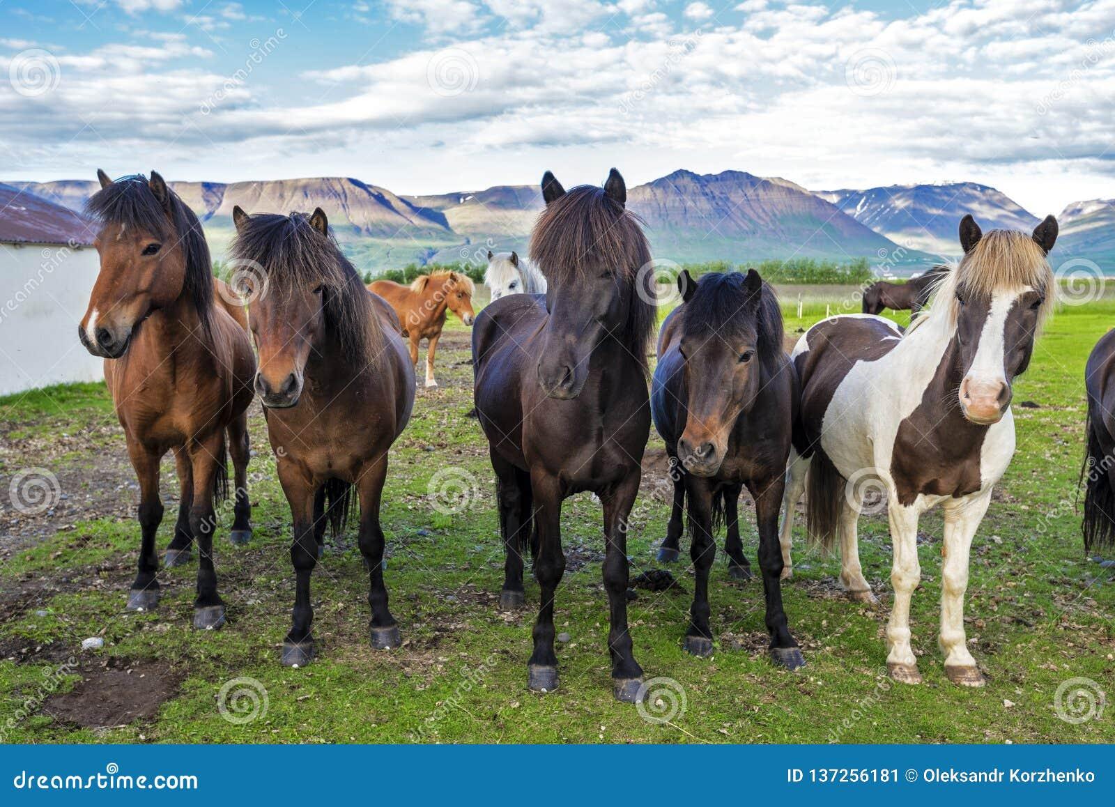 Islandzcy konie w gospodarstwie rolnym Varmahlid wioska Północno-zachodni Iceland