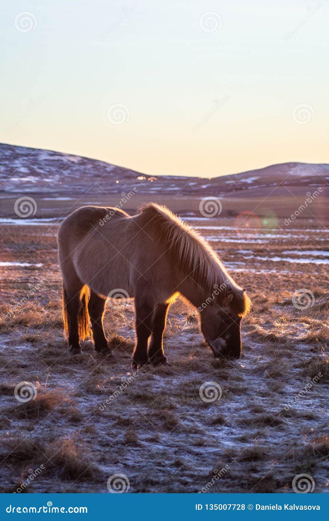 Islandzcy konie w zimie, Północny Iceland