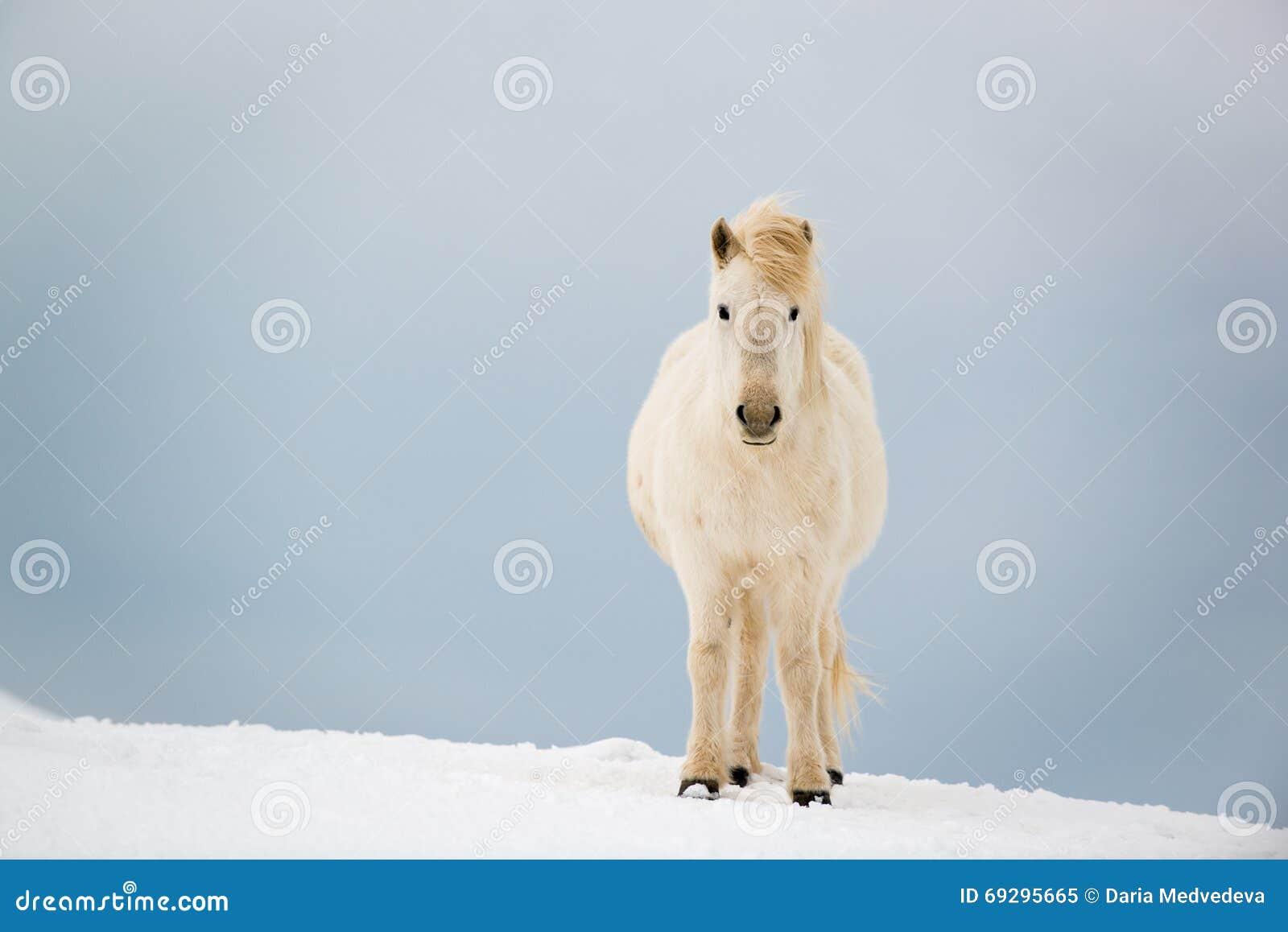 Islandzki koń na śniegu w zimie, Iceland