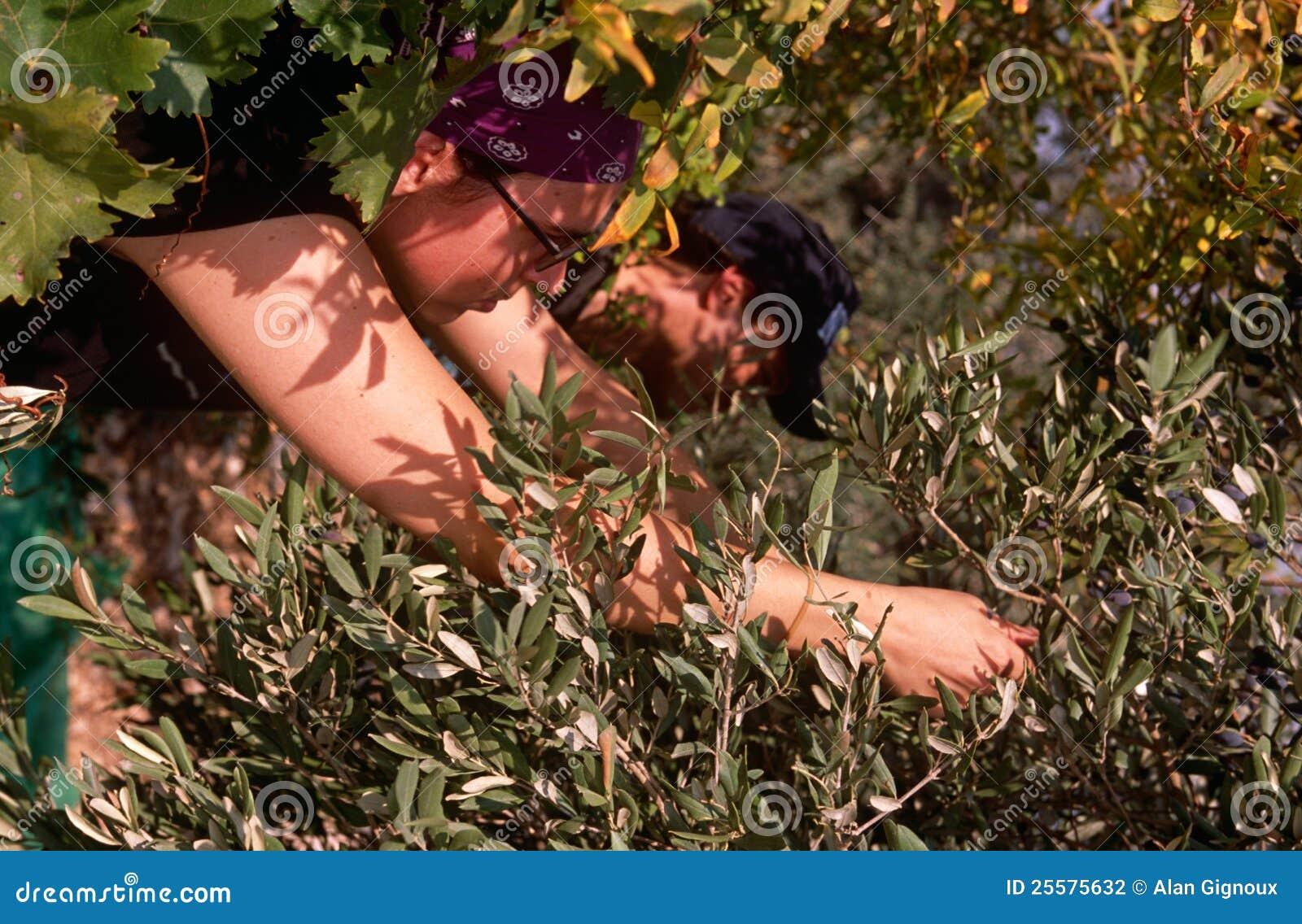 ISM volunteers in an olive grove, Palestine