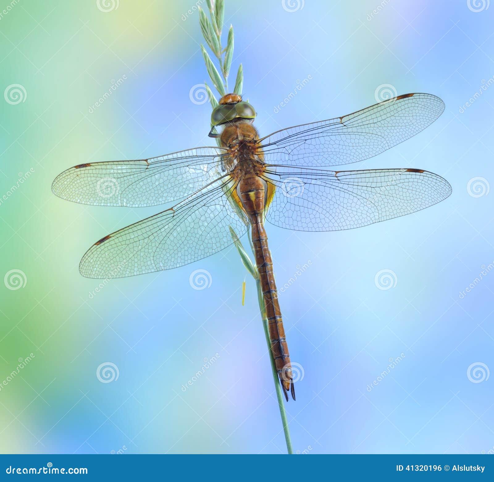 Isoceles Aeshna Dragonfly