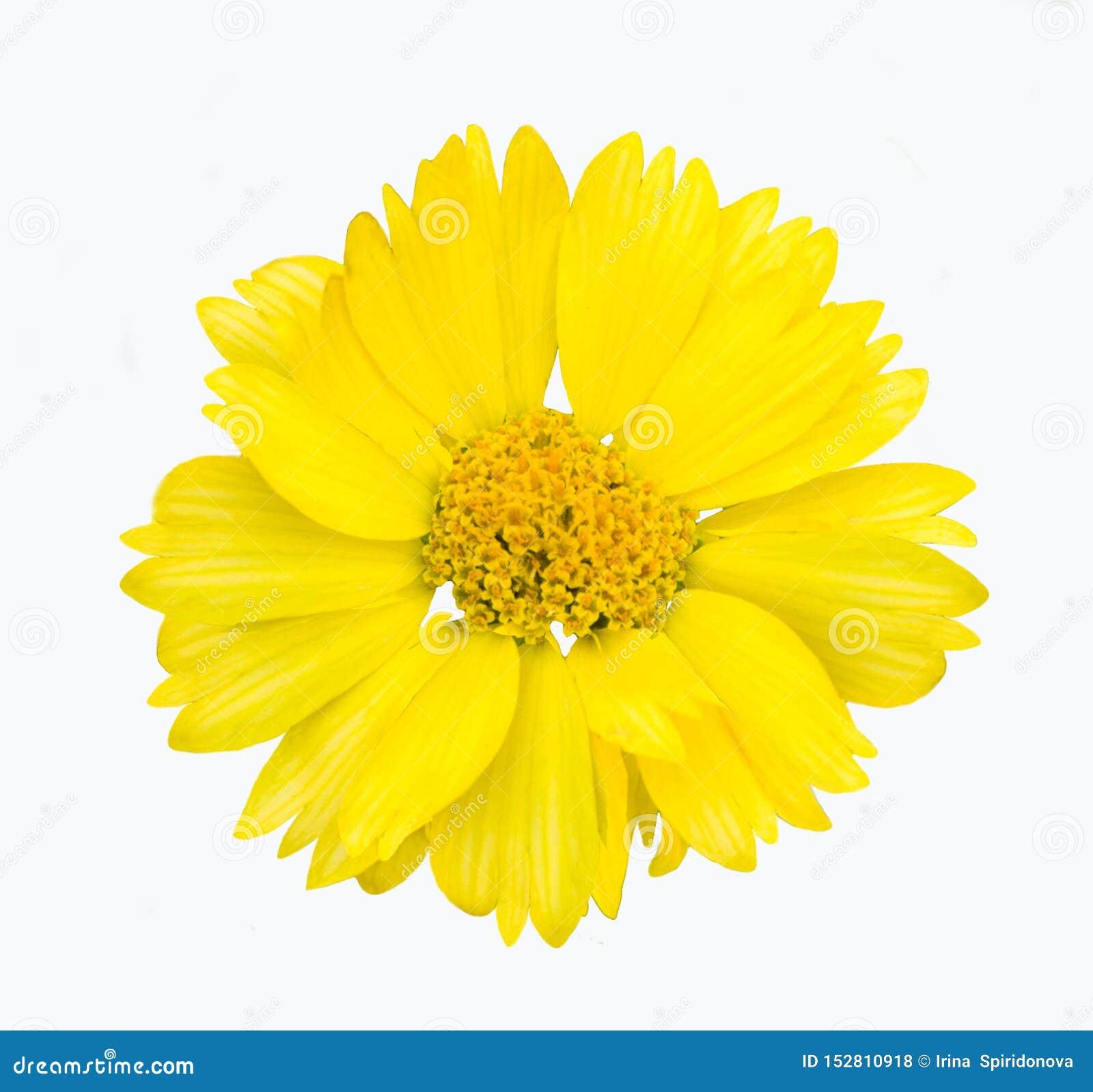 Isolado amarelo da flor