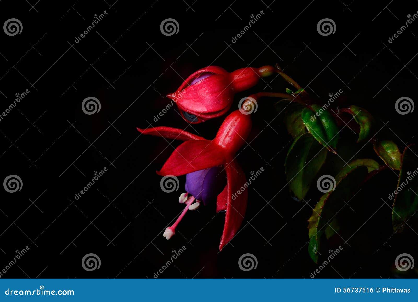 Isolado cor-de-rosa bonito da flor (fúcsia) no fundo preto