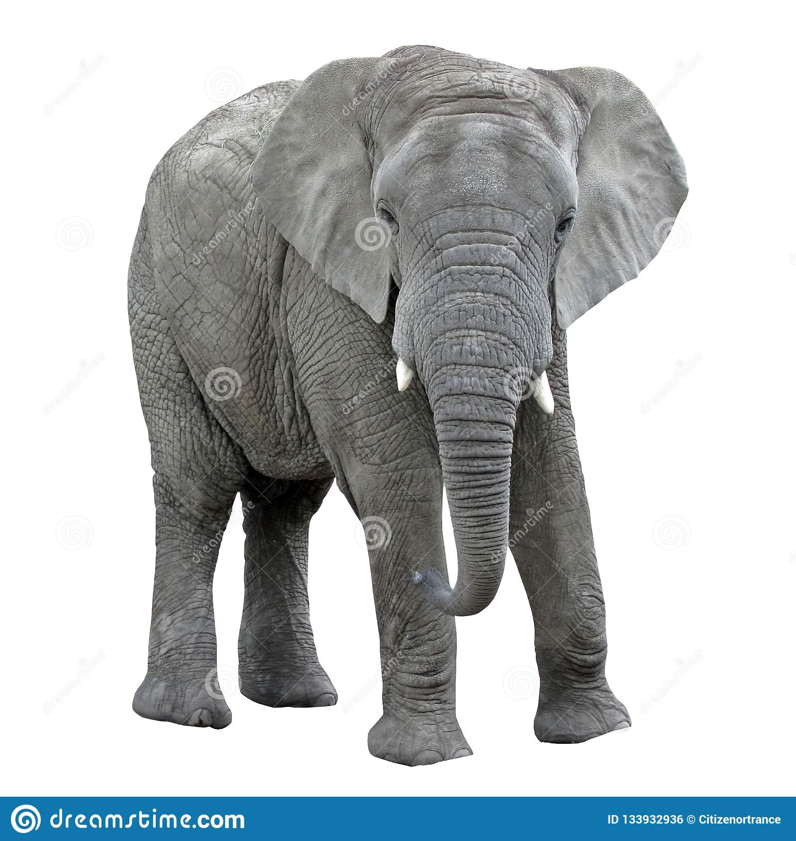Isolat d éléphant sur le fond blanc Animal africain
