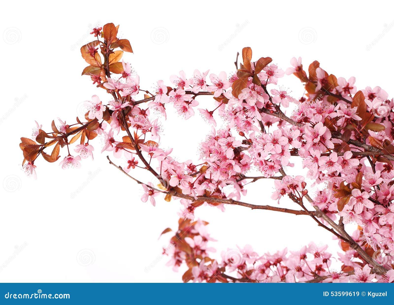 Isolat de fleurs de cerisier Sakura Belles fleurs roses