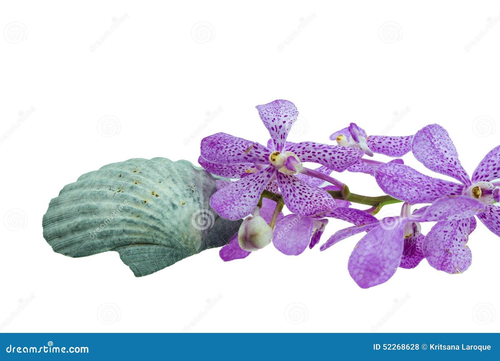 Isolat rose de coquille d orchidées et de festons de mokara (voir le Pectinidae)