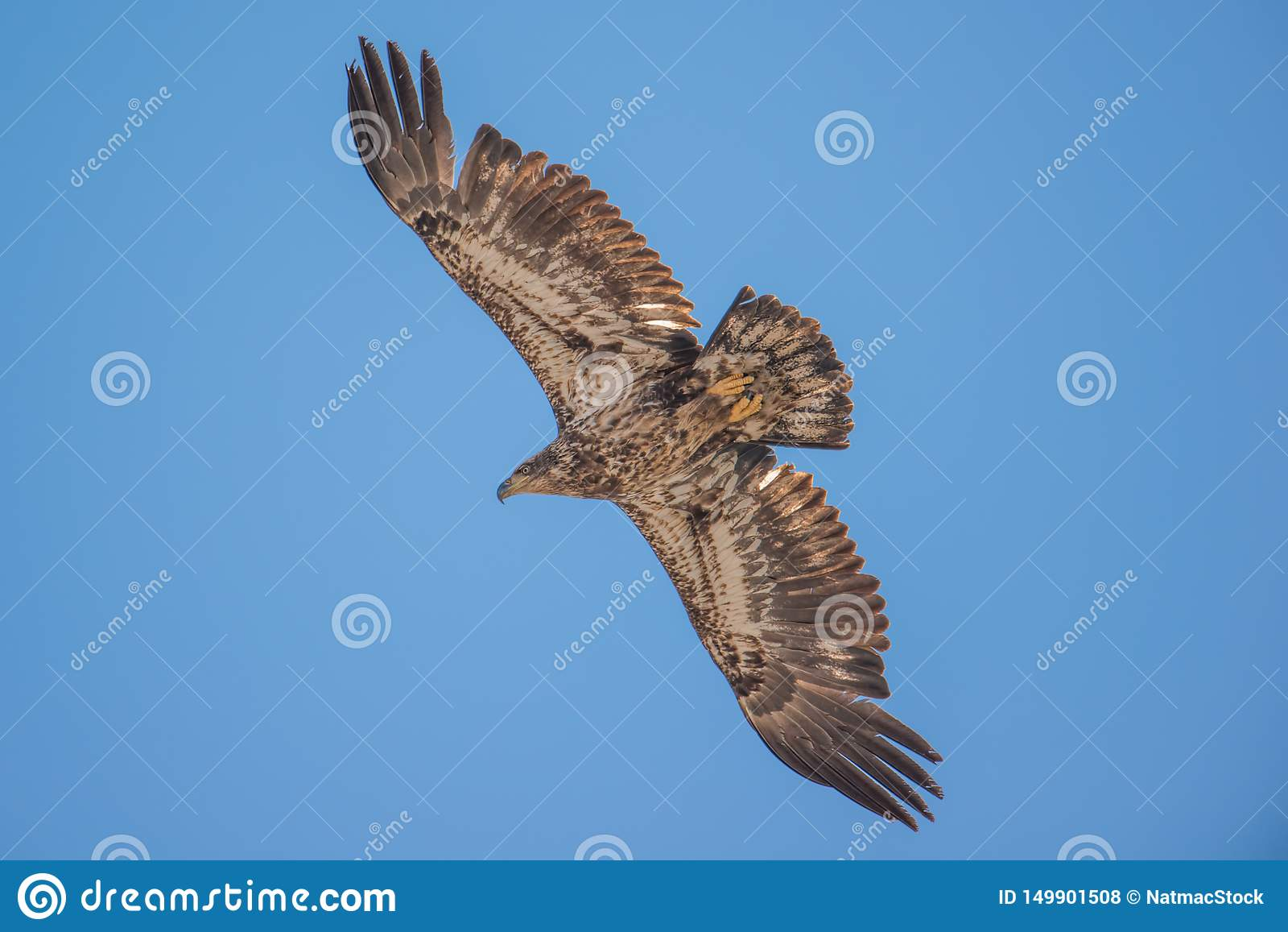 Isolata acerba dell aquila calva ed in ascesa nei cieli blu durante le migrazioni iniziali della molla nell area della fauna selv