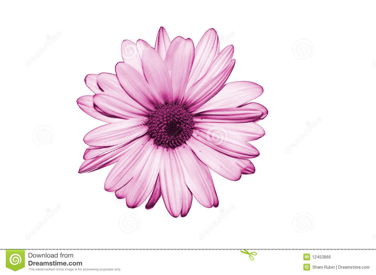 Isolate Purple Flower On White Background Royalty Free ...