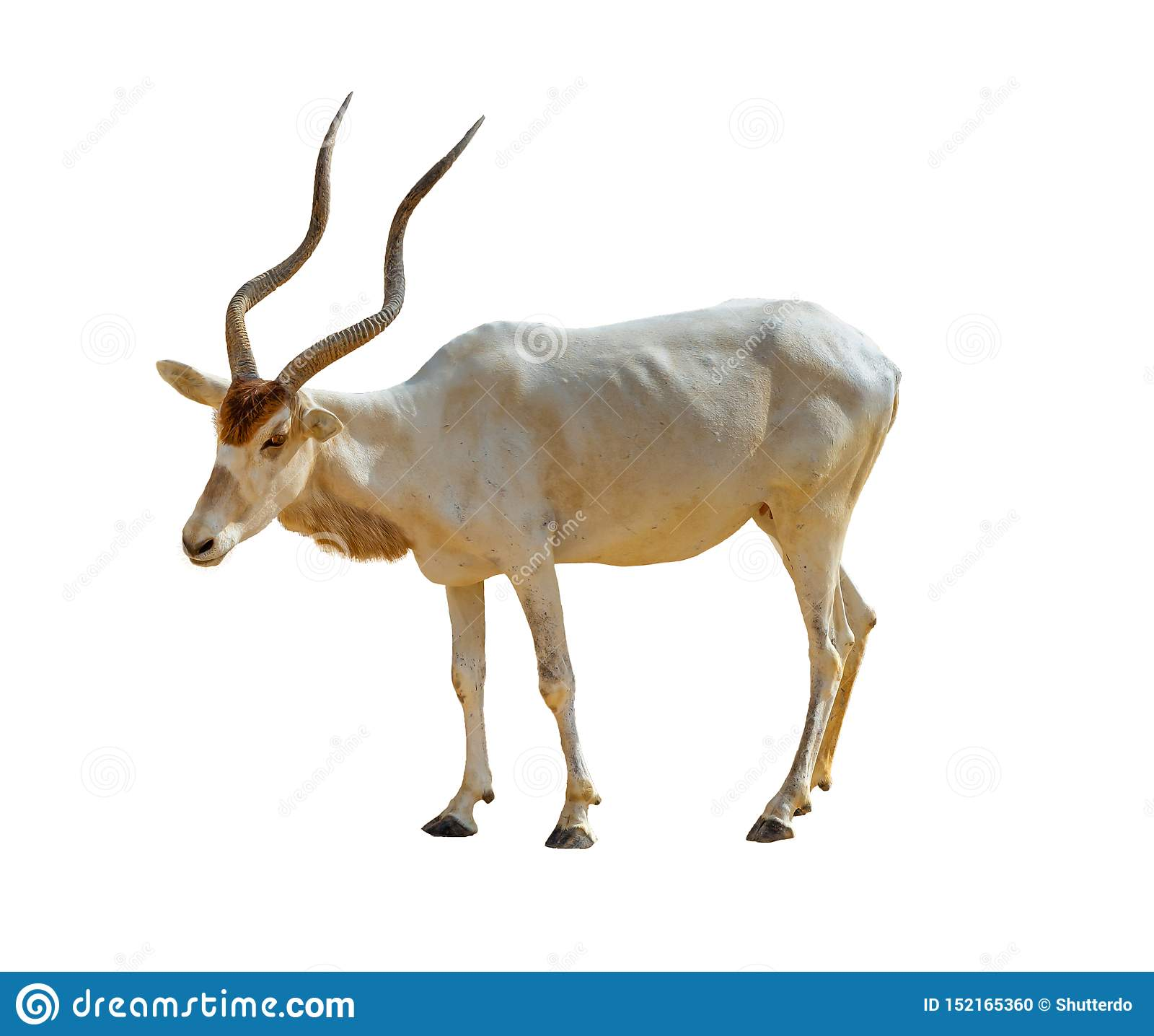 Isolated addax antelope on white background