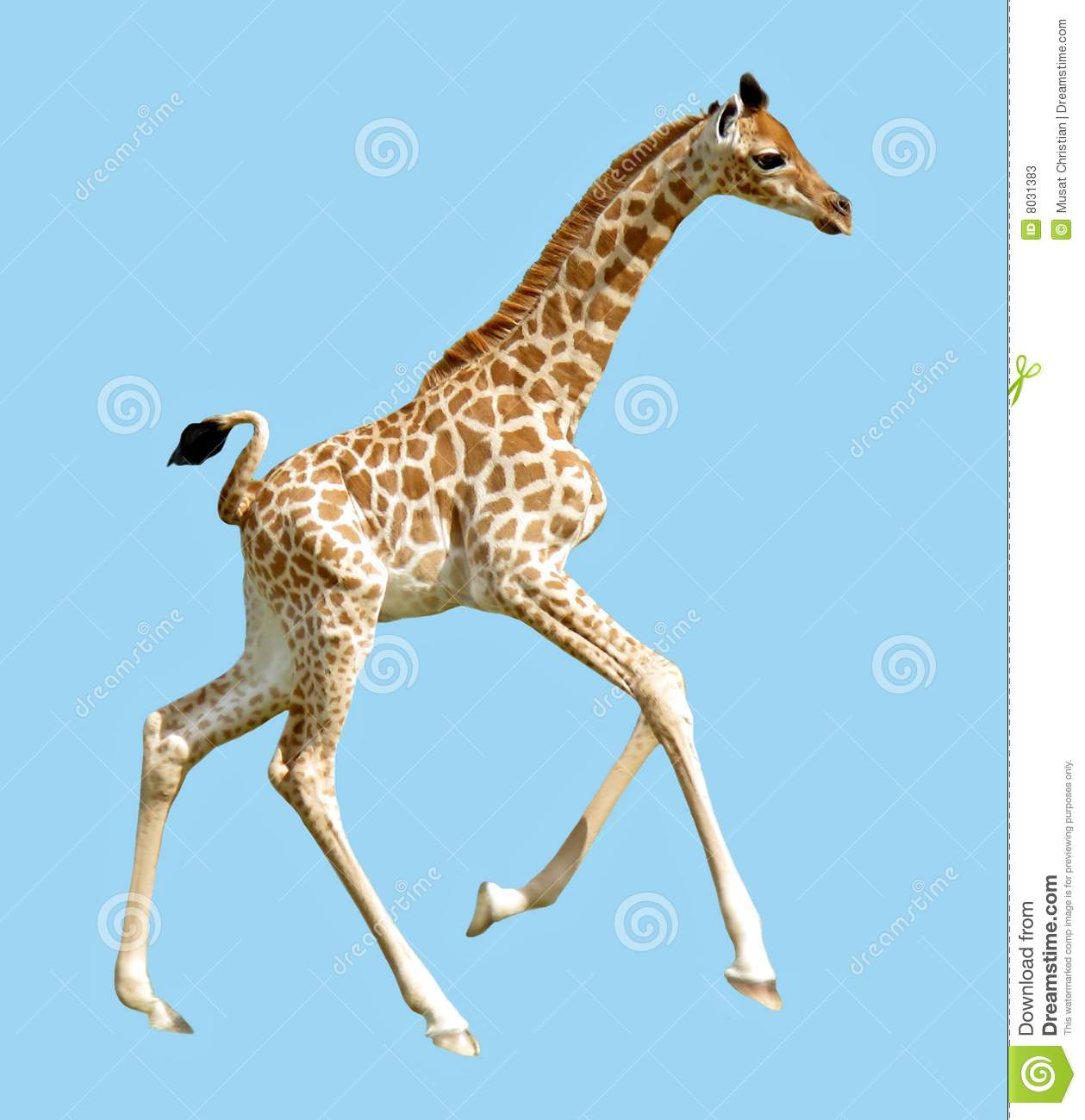 Isolated profile baby giraffe (Camelopardalis) running on blue ...