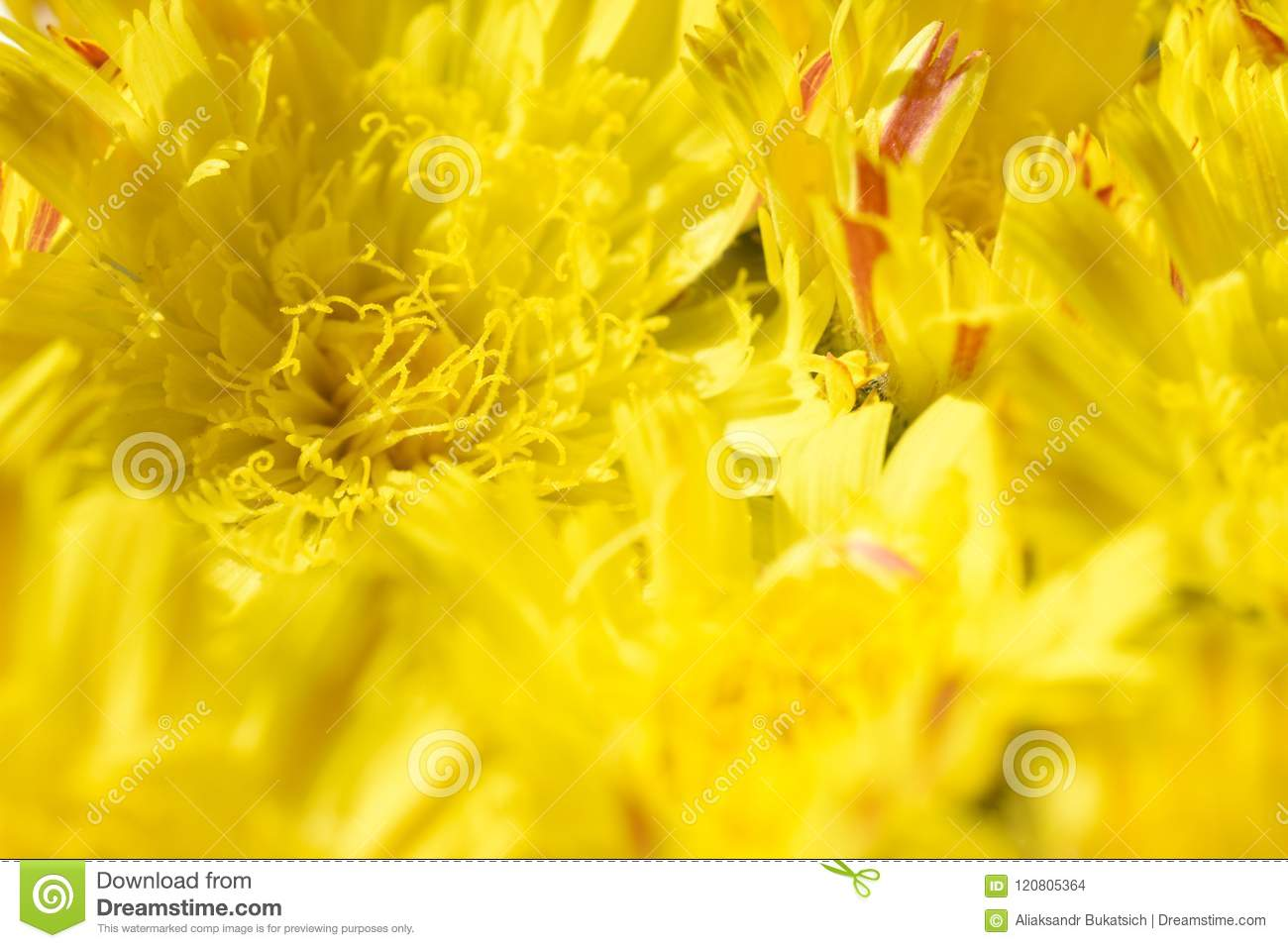 Isolated background of flowers yellow daisy with a yellow core and orange petals