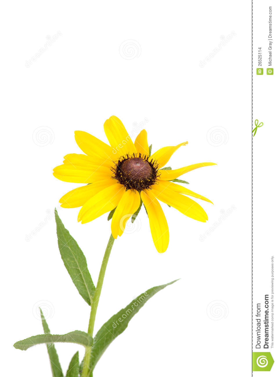 isolated black eyed susan flower stock images