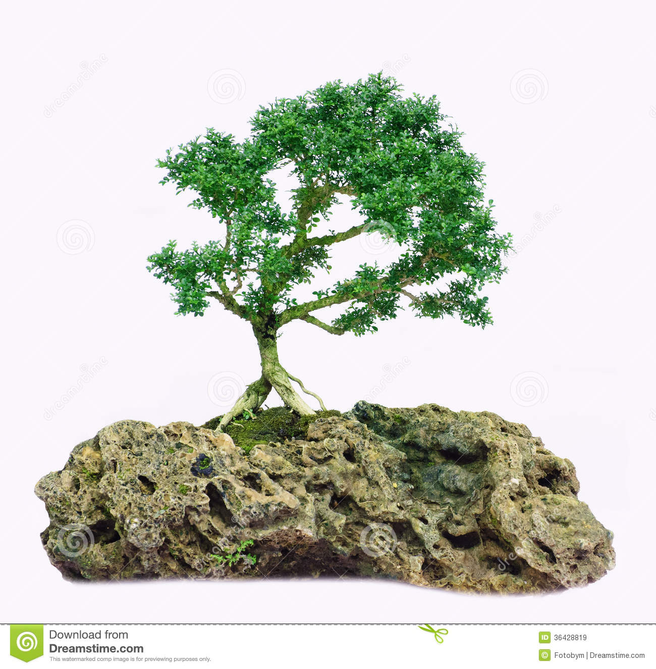 Isolated Bonsai Tree Murraya Paniculata Dwarf Stock Image Image Of Beautiful Nature 36428819