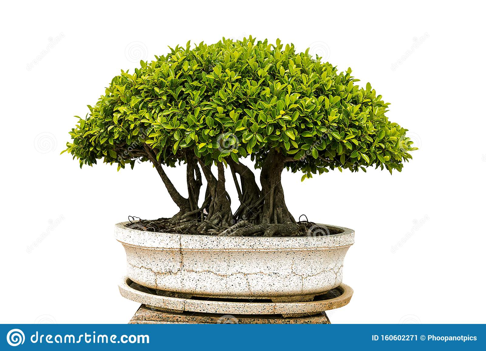 Isolated Bonsai Tree On White Background Stock Image Image Of Plant Forest 160602271