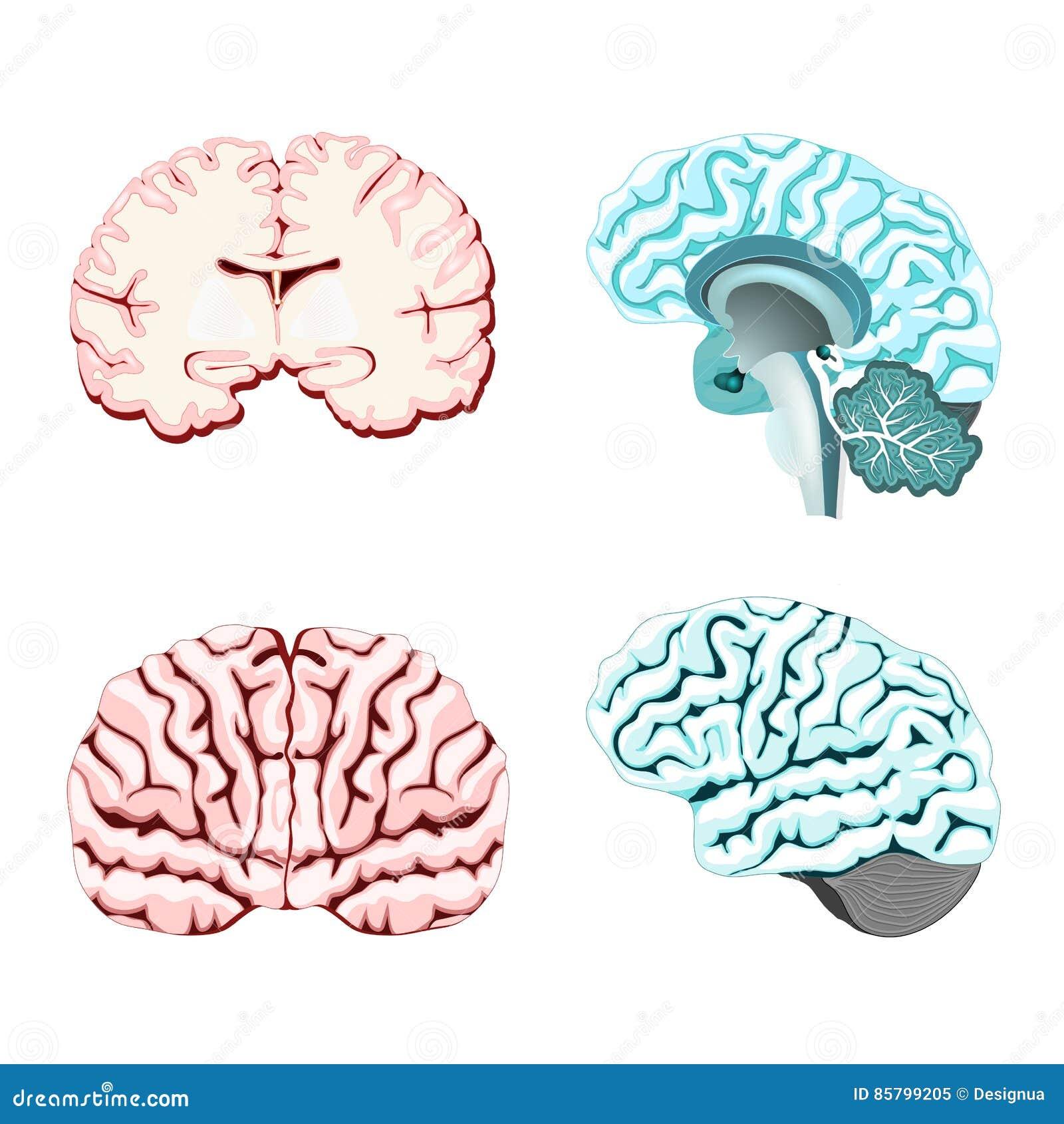 Easy Brain Diagram Cross Section - Schematics Wiring Diagrams •