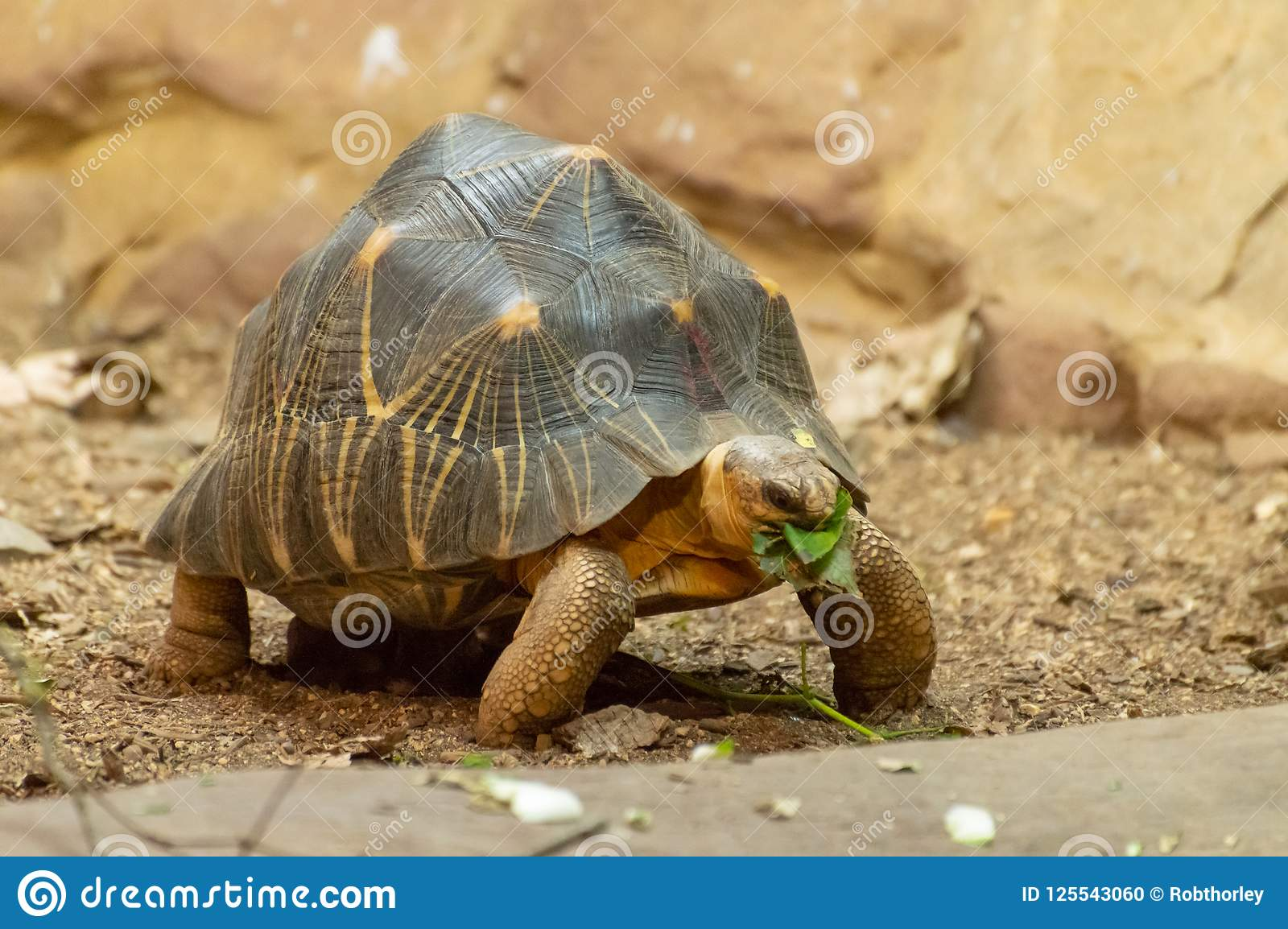 An isolated radiated tortoise eating a leaf.