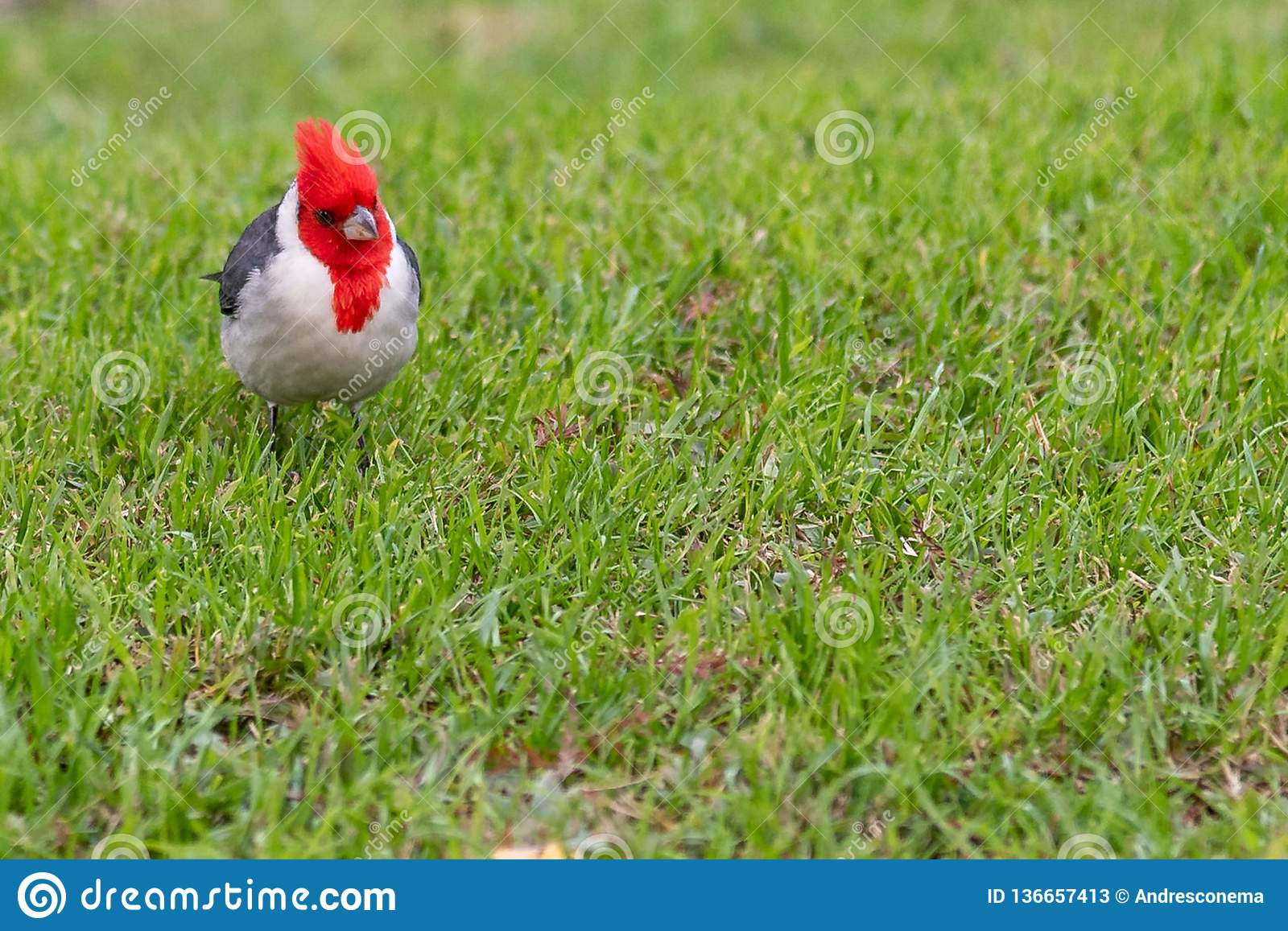 Isolated cardinal cramoisi intelligent sur le fond d herbe